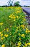 Beautiful Bright Yellow Lanceleaf Coresopsis Wildflowers on the Royalty Free Stock Photos