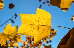 Beautiful bright yellow magnolia tree leaf on natural background. Magnolia tree leaf close up. Fall background with free space. Te royalty free stock photo
