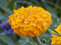Beautiful Bright Yellow Marigold Blazing in the Summer Sun. Beautiful orange marigold blazing in the summer sun with a leafy background with rain droplets Stock Image