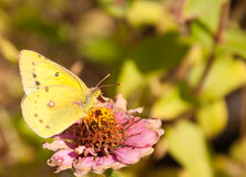 Beautiful bright yellow Orange Sulphur Stock Image