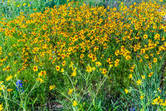 Beautiful Bright Yellow Plains Coreopsis Wildflowers in Texas Royalty Free Stock Image