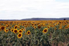 Beautiful sunflowers in field Royalty Free Stock Photos