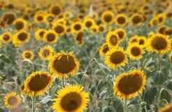 Beautiful sunflowers in field Stock Images