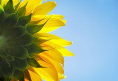 Beautiful bright yellow sunflower Royalty Free Stock Photos