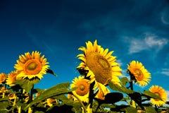 Beautiful bright yellow sunflowers Stock Images