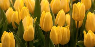 Yellow tulips blooming in a summer park or in the garden. Beautiful bright yellow tulips adorn the lawn or flower bed stock photography