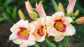 Beautiful bright yellow varietal daylily stock video footage