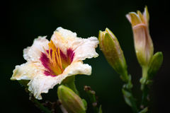 Beautiful bright yellow varietal daylily in water drops after rain Royalty Free Stock Images