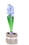 Beautiful brightly-blue hyacinths Stock Images