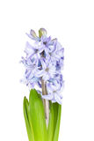 Beautiful brightly-blue hyacinths Royalty Free Stock Photo