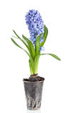 Beautiful brightly-blue hyacinths on a white background Royalty Free Stock Photos