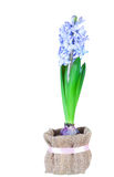 Beautiful brightly-blue hyacinths. On a white background Stock Image