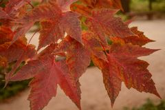 Beautiful Brightly Colored Fall Leaves royalty free stock image