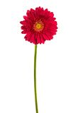Beautiful brightly red flower Stock Photos
