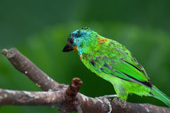 Beautiful brilliant plumage of a Taiwan barbet, or Psilopogon nuchalis Royalty Free Stock Images
