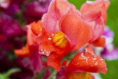 Beautiful Brilliant Red Snapdragons in the Rain Stock Images
