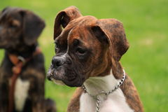 Beautiful brindle boxer puppy looking sideways at a distraction. Second puppy sitting in background stock photo