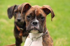 Beautiful brindle boxer puppy in foreground, looking at camera. royalty free stock image