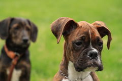 Beautiful brindle boxer puppy in foreground, with second puppy in background, both sitting in green grass. royalty free stock photos