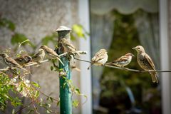 Beautiful British birds in the home garden, sparrows and starlings in Summertime. Beautiful British birds feeding in the home garden, sparrows and starlings in Stock Image