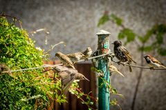 Beautiful British birds in the home garden, sparrows and starlings in Summertime. Beautiful British birds feeding in the home garden, sparrows and starlings in royalty free stock photo