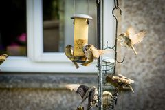 Beautiful British birds in the home garden, sparrows and starlings in Summer. Time stock photography