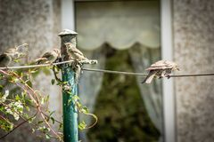 Beautiful British birds in the home garden, sparrows and starlings in Summer. Time Royalty Free Stock Photography