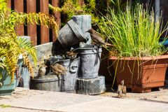 Beautiful British birds in the home garden, sparrows and starlings in Summertime. Beautiful British birds drinking water in the home garden, sparrows and Royalty Free Stock Photography