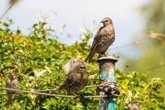 Beautiful British birds in the home garden, sparrows and starlings in Summertime. Beautiful British birds drinking water in the home garden, sparrows and royalty free stock images