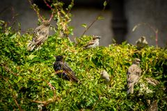 Beautiful British birds in the home garden, sparrows and starlings in Summertime. Beautiful British birds feeding in the home garden, sparrows and starlings in royalty free stock image