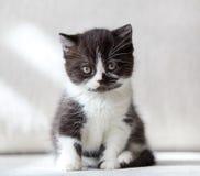 Beautiful british black and white shorthair kitten Stock Image
