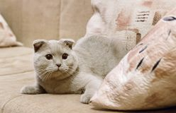 Beautiful British blue lop-eared cat lies on the sofa at home.. Blue Scottish Fold cat. British Shorthair Cat stock images