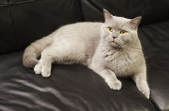 Beautiful british cat on a black leather sofa Royalty Free Stock Image