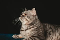 Beautiful British cat breed, the best pet for children and adults. Playful, gentle, big cat Stock Photo