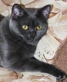 Beautiful British cat breed Stock Photo