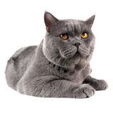 Beautiful British cat Royalty Free Stock Photos