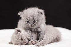 Beautiful British cat lilac and blu Colors Stock Image