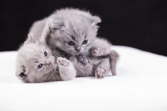 Beautiful British cat lilac and blu Colors Stock Photography