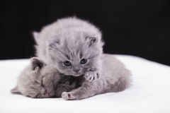 Beautiful British cat lilac and blu Colors Stock Images