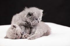 Beautiful British cat lilac and blu Colors Royalty Free Stock Photography