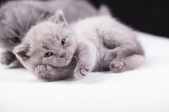 Beautiful British cat lilac and blu Colors Royalty Free Stock Image
