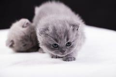 Beautiful British cat lilac and blu Colors Royalty Free Stock Photos