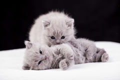 Beautiful British cat lilac and blu Colors Stock Photo