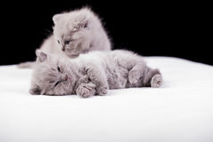 Beautiful British cat lilac and blu Colors Royalty Free Stock Images