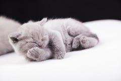 Beautiful British cat lilac and blu Colors Stock Photos