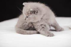 Beautiful British cat lilac Colors Royalty Free Stock Photo