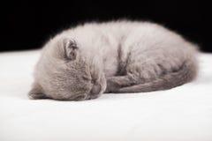 Beautiful British cat lilac Colors Royalty Free Stock Image