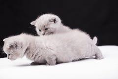 Beautiful British cat lilac Colors Royalty Free Stock Photos