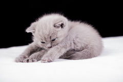 Beautiful British cat lilac Colors Stock Photography