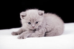 Beautiful British cat lilac Colors Royalty Free Stock Images